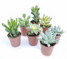 Plante suculente mix