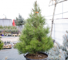 Conifer Pin negru 180+ cm
