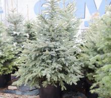 Comanda Molid argintiu Picea pungens Glauca