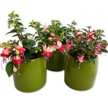 Comanda Fuchsia hybrida | Floarea Cerceluș de vanzare, pret avantajos