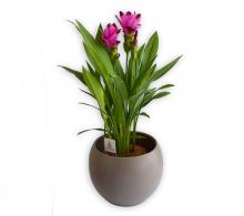 Comanda Curcuma longa (turmeric) - planta la ghiveci