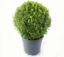 Buxus - glob 45 cm
