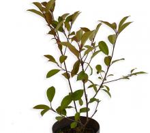 Photinia fraseri - arbusti ornamentali