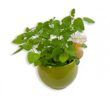 Roinita - plante medicinale