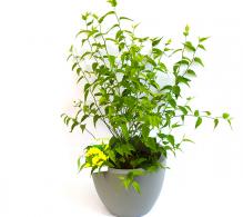 Kerria japonica de vanzare