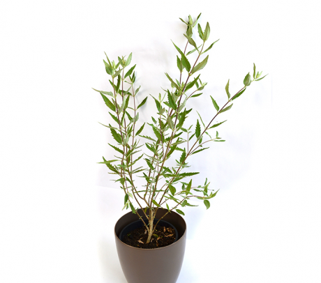 Caryopteris - arbusti ornamentali de vanzare