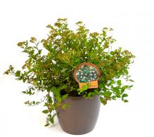 Comanda Cununinta (Spiraea) - arbusti ornamentali cu flori