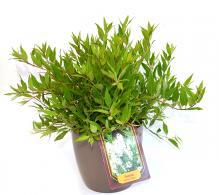 Deutia - Arbusti decorativi cu flori