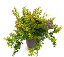 Leucothoe axilaris - arbusti decorativi