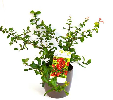 Gutui japonez de vanzare - flori de gradina