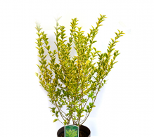 Lemn cainesc - arbusti ornamentali