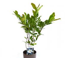 Magnolia stellata - arbusti ornamentali cu flori