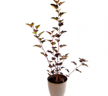 Physocarpus opulifolius - Plante de Gradina de vanzare