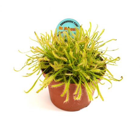 Drosera capensis - planta carnivora