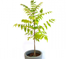 Cenusar (Flasul otetar) | Ailanthus altissima - Arbori ornamentali