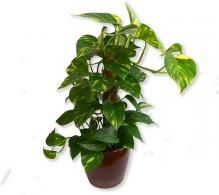 Epipremnum aureum (Iedera diavolului) | Plante online