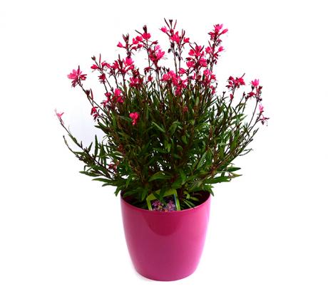 Floarea albinei  (Gaura lindheimeri)   Flori de grădină