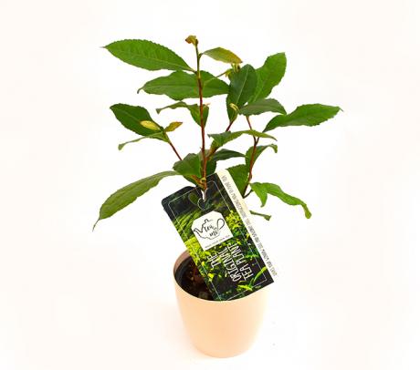 Planta de ceai (Camellia sinensis) | Plante online