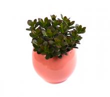 Arborele de jad (Crassula ovata 'Minor') de vanzare