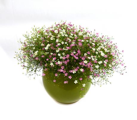 Floarea miresei (Gypsophilla elegans) - flori de gradina pentru stancarie