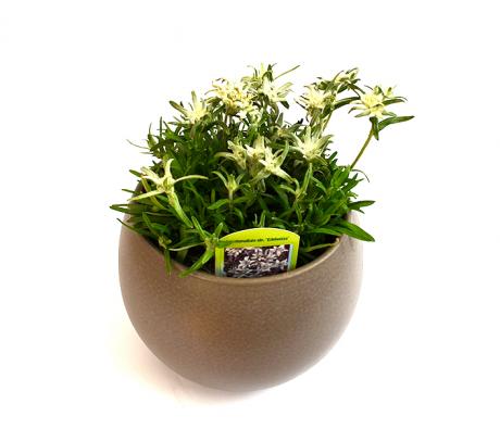 Foare de colț (Leontopodium alpinum) - Planta la ghiveci