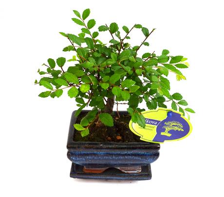Bonsai Zelkova - Plante online