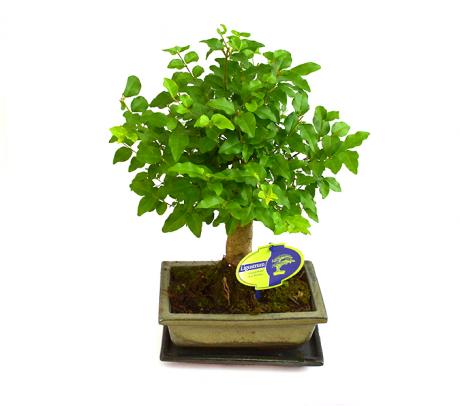 Bonsai Ligustrum - Plante de interior online