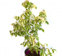 Arțar american (Acer negundo 'Flamingo')