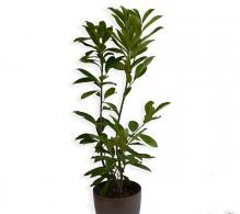 Laurocires - Prunus laurocerasus