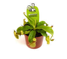Plante carnivore Nepenthes