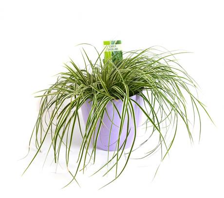 Carex iarba ornamentala