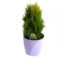 Conifer Thuja Aurea Nana