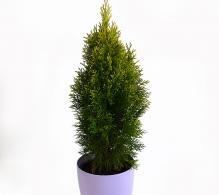Tuia occidentalis