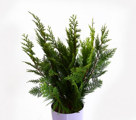 Chamaecyparis pisifera (Chiparos japonez) - Conifere