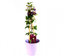 Clematis - flori de vanzare