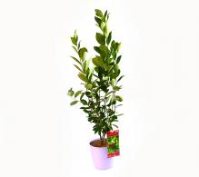 Aronia melanocarpa