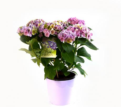 Hortensia  - arbusti ornamentali la ghiveci