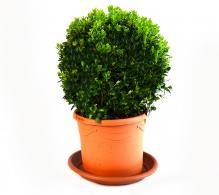 Buxus - glob | Buxus sempervirens de vanzare