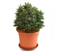 Molid sârbesc (Picea Omorika Nana)