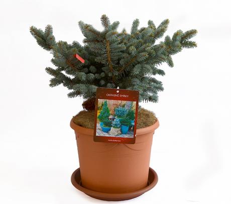 Molid argintiu globular | Picea pungens 'Glauca globosa'