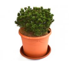 Jneapan (Pinus mugo)