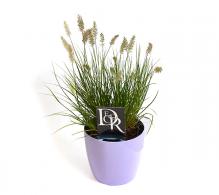 Iarba decorativa Pennisetum