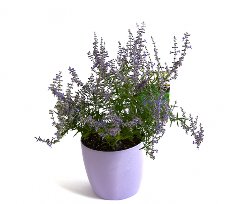 Salvia ruseasca Perovskia