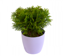 Tuia globulara | Thuja occidentalis 'Danica'