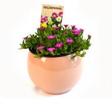 Floarea de cristal (Delosperma)