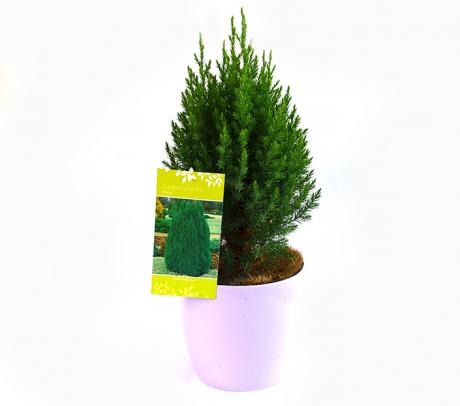 Ienupăr chinezesc (Juniperus chinensis 'Stricta')