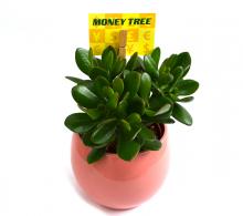 Crassula ovata Planta banilor