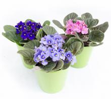 violeta africana - flori de camera