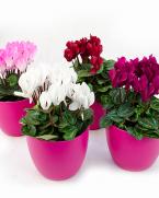 Cyclamen flori de apartament