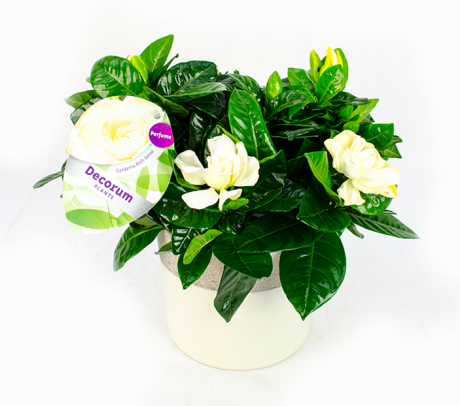 Gardenia ingrijire